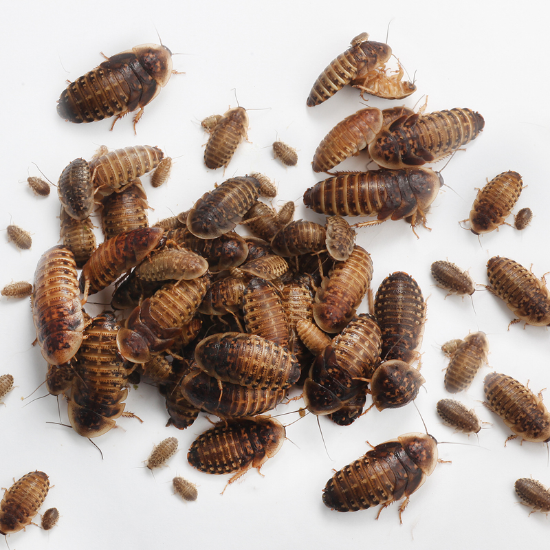Mix Dubia Roaches Qty 100 The Roach Cafe
